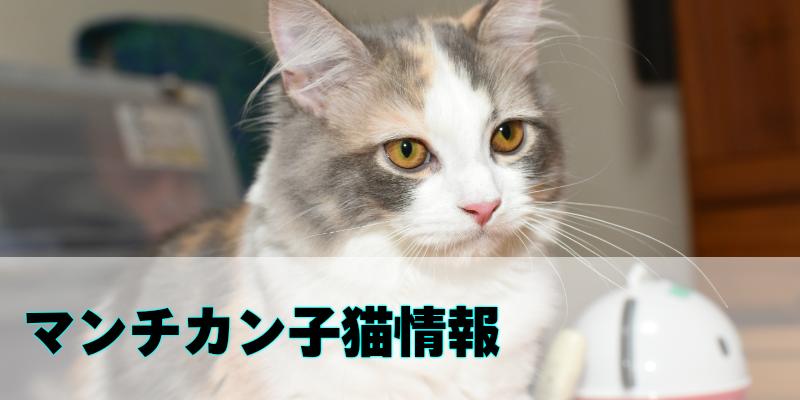 マンチカンの子猫(販売中)を紹介しています。