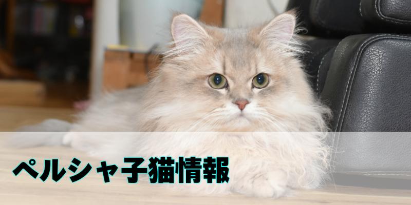 ペルシャ(チンチラ)の子猫を紹介しています。